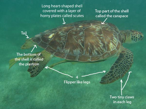 Anatomy of sea turtles